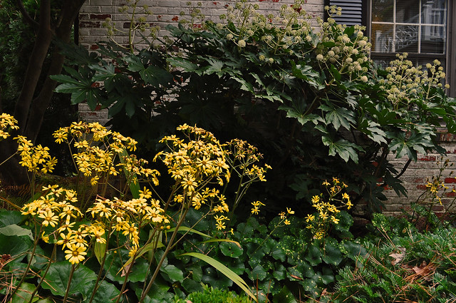 Farfugium japonicum 'Aureo-maculata' and Fatsia japonica