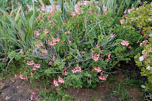 Pelargonium salmoneum, bush