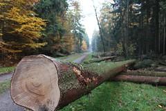 1. November 2015 - 16:16 - Holzernte Baumstamm 4