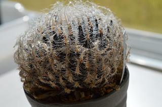 DSC_0511 Haworthia arachnoidea v. setata CL1 GM494 SW of Ladismith