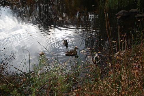Duck Pond 2015