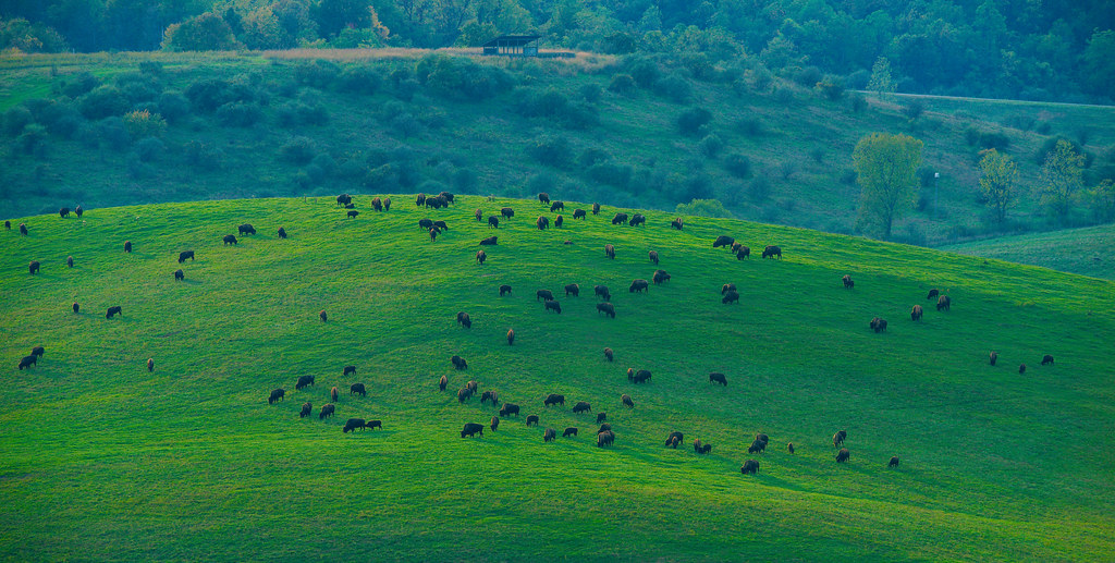 Bison (Bison bison)_10