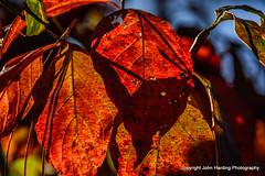 Wild Dogwood In November