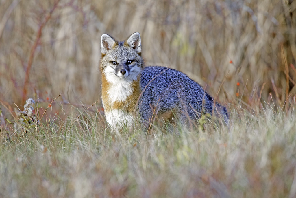 Gray Fox feasting on field mice