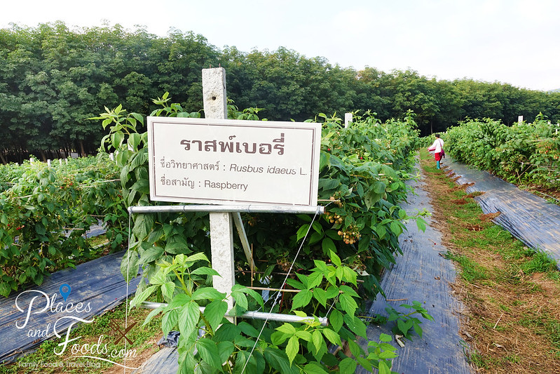singha park raspberry farm