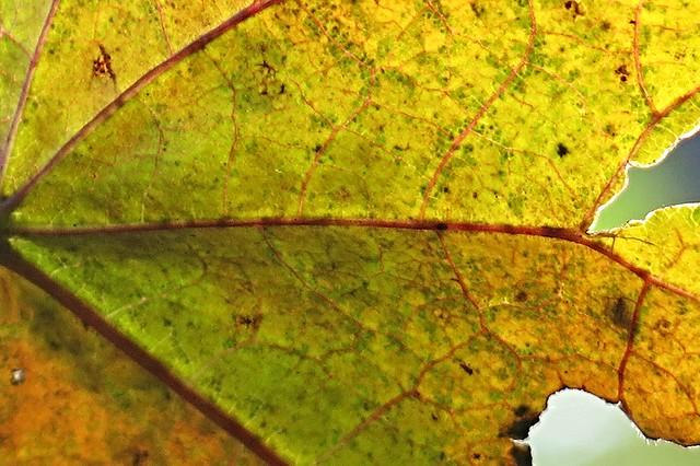 backlit leaf ~ HMM!