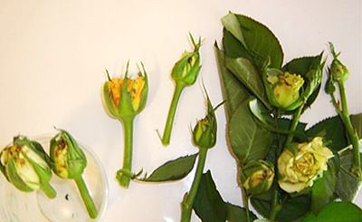 thrips-rose