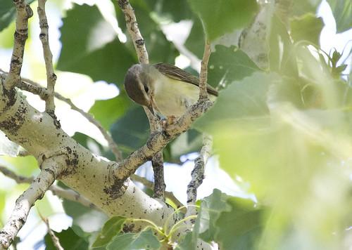 california warblingvireo vireogilvus
