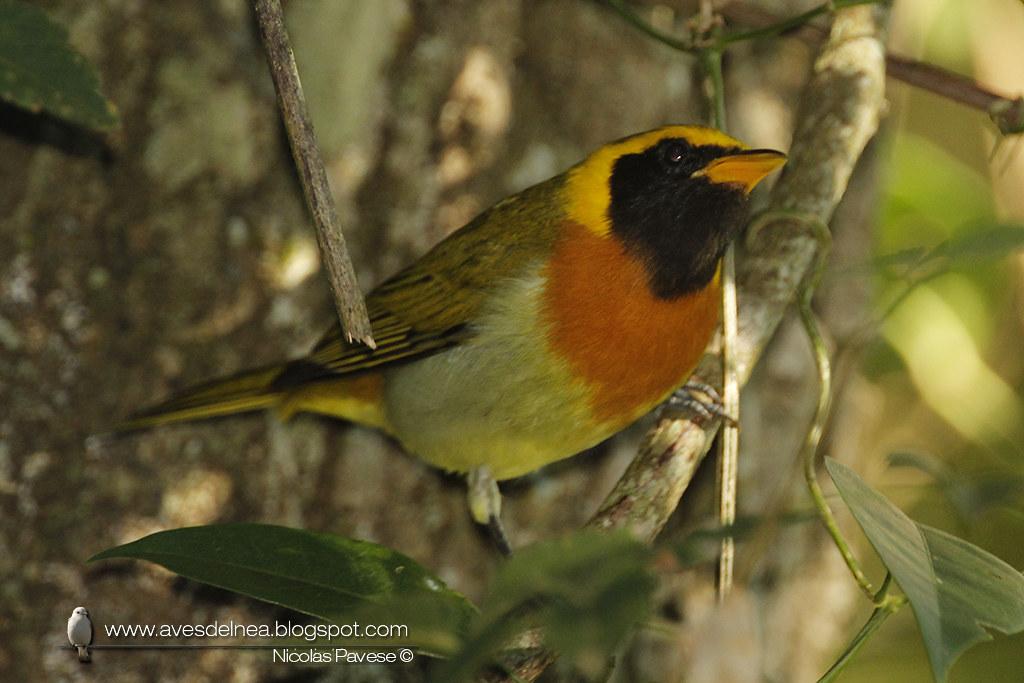 Saira dorada (Guira Tanager) Hemithraupis guira