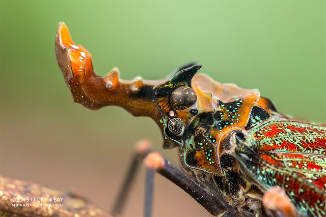 Dragon-head lantern bug (Phrictus quinqueparitus) - DSC_9000