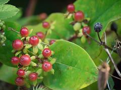 blossom(0.0), shrub(0.0), flower(0.0), huckleberry(0.0), produce(0.0), food(0.0), coccoloba uvifera(0.0), bilberry(0.0), hawthorn(0.0), lingonberry(0.0), evergreen(1.0), berry(1.0), leaf(1.0), plant(1.0), arctostaphylos uva-ursi(1.0), macro photography(1.0), flora(1.0), green(1.0), fruit(1.0), aquifoliaceae(1.0), aquifoliales(1.0),