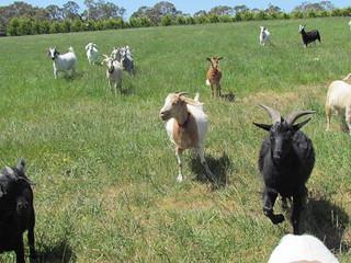 Goat paddock
