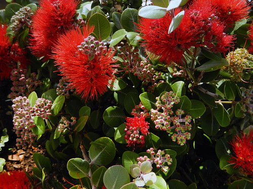 The striking red flowers of a bottle brush plant growing beside the seashore on the west coast of Galicia, Spain