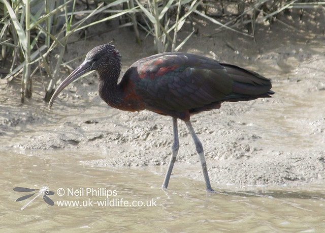Glossy ibis-6