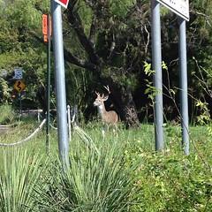 Olmos Park deer