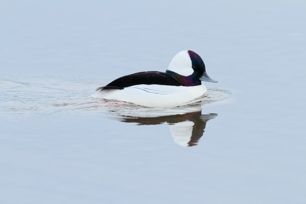 A male bufflehead swims across Rest Lake on a winter afternoon