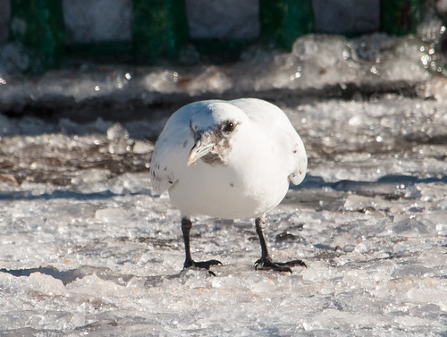 Ivory Gull in Duluth!