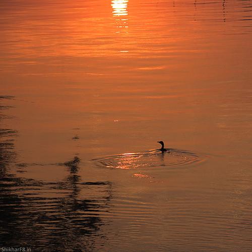 silhouette sunrise nikon pointandshoot cormorant p7800 shikharsharmaphotography nikoncoolpixp7800 shikharf8 shikharf8in shikharsharma