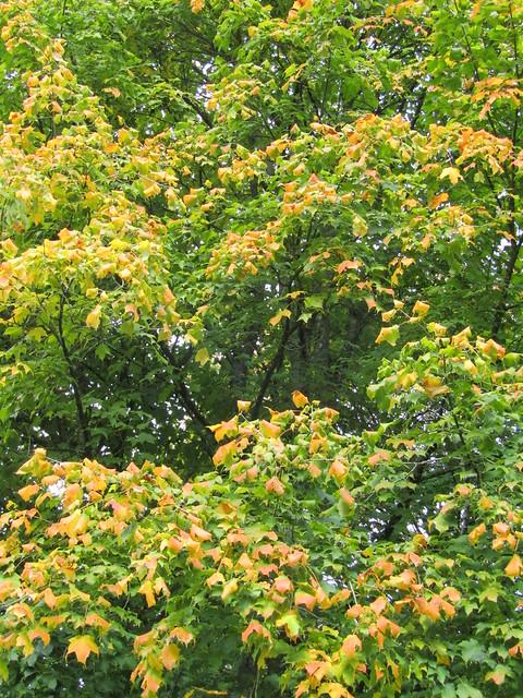 Header of Acer saccharum ssp. nigrum