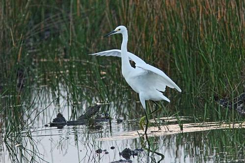 Snowy Egret dance 02-20150817