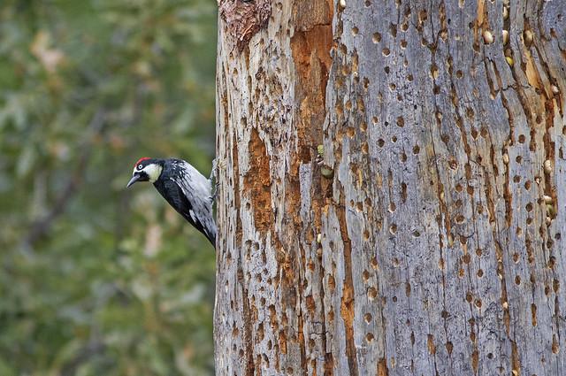 Acorn Woodpecker 7d1_2553