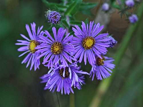 New England Aster 20150926