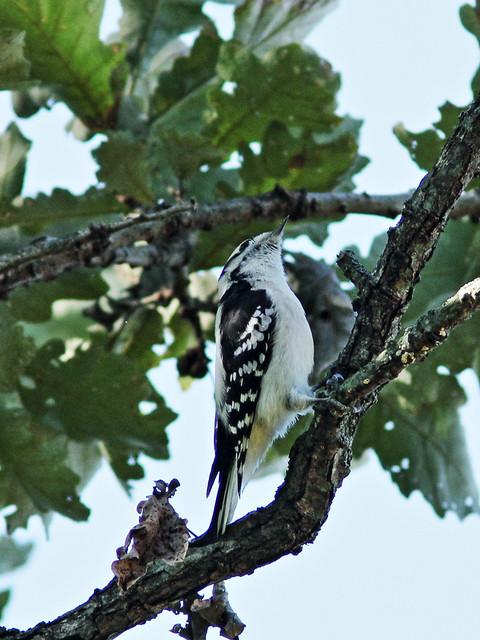 Downy Woodpecker 20150926