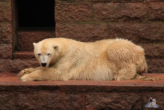 Eisbär Fiete im Zoo Rostock 17.10.2015  079
