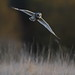 Short eared owl by Mike Mckenzie8