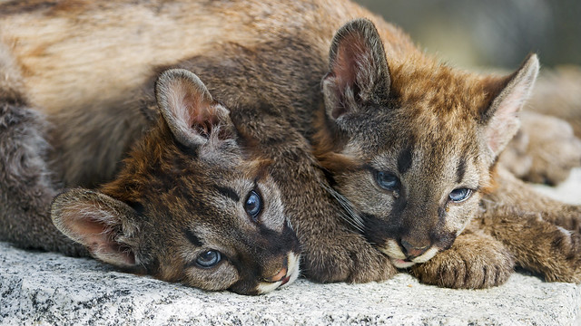 The two cubs lying together
