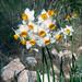 Narcissus tazetta - Wikipedia