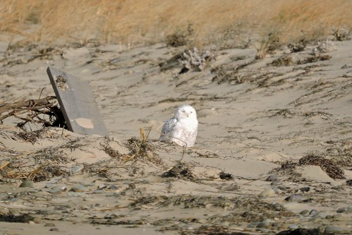 Snowy Owl #99 Lifer 140