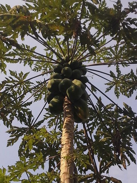 Picture 5 - papaya