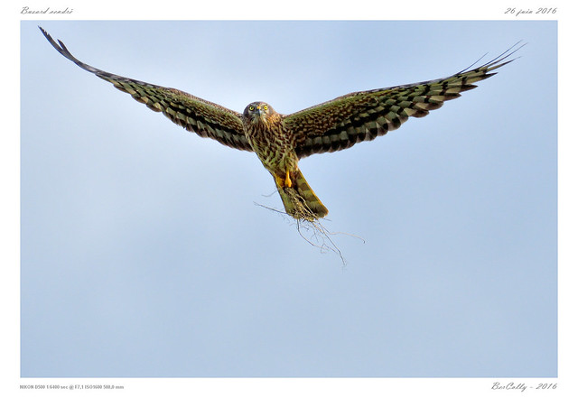 Busard cendré | Montagu's Harrier | Circus pygargus