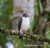 Semiplumbeous Hawk (Leucopternis semiplumbea)