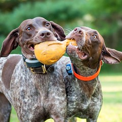 Siamese shorthaired pointers (joined at the toy). :yum: