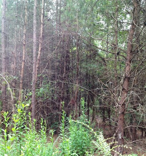 Loblolly pine plantation pre-thinning