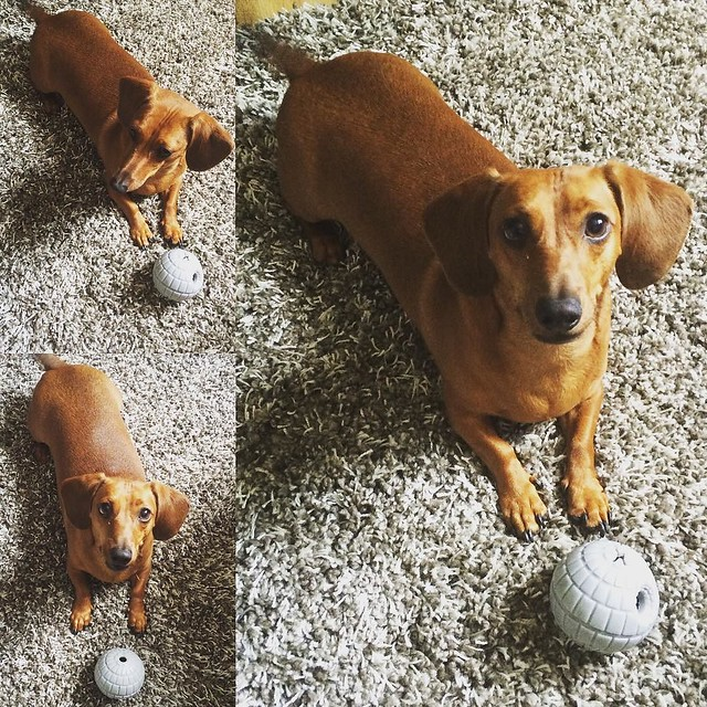 Happy 2nd birthday to my weenie @mrbigthedoxie! #mrbig #dachshund #doxie #weenie #weeniewithaweenie