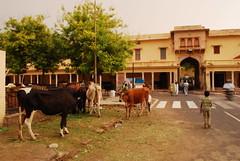 Bos taurus DT [IN Jaipur] (1)