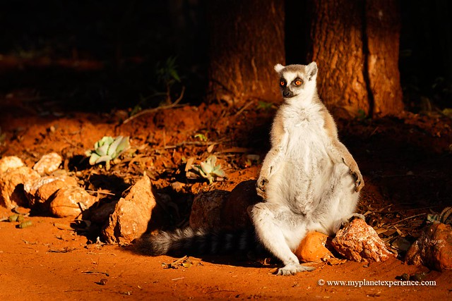 Ring-tailed lemur sunbathing - Madagascar