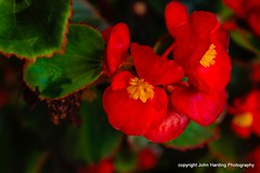 Begonias In The Mist