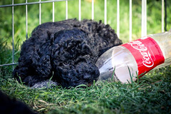Portuguese-Water-Dog-puppies-21.jpg