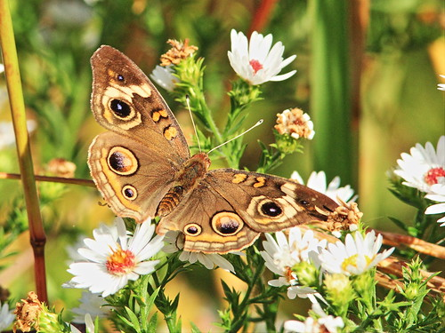 Common Buckeye butterfly 20150926