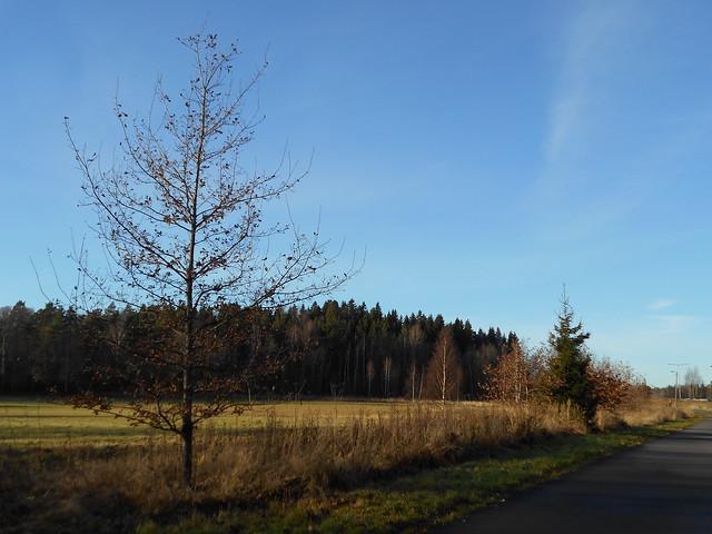 Melkein kokonaan varistunut tammi (Quercus robur), 5.11.2015 Espoo Leppävaara / Kilon kartano