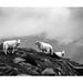 Three Sheep by osh rees