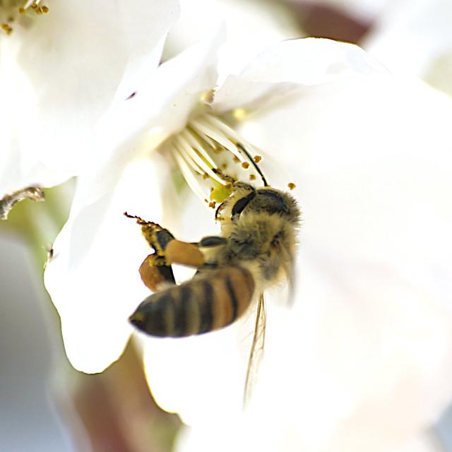 Honeybee's Feeding in holding inflight motion