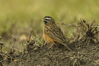Cinnamon-breasted Bunting - KenyaIMG_3634
