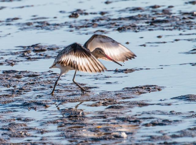 Black-tailed Godwit 020 (530)
