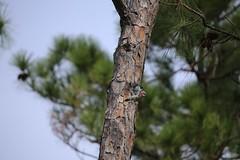 red bellied woodpecker #1