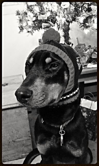 Doberman Puppy Wearing New England Patriots Hat - Lapdog Creations